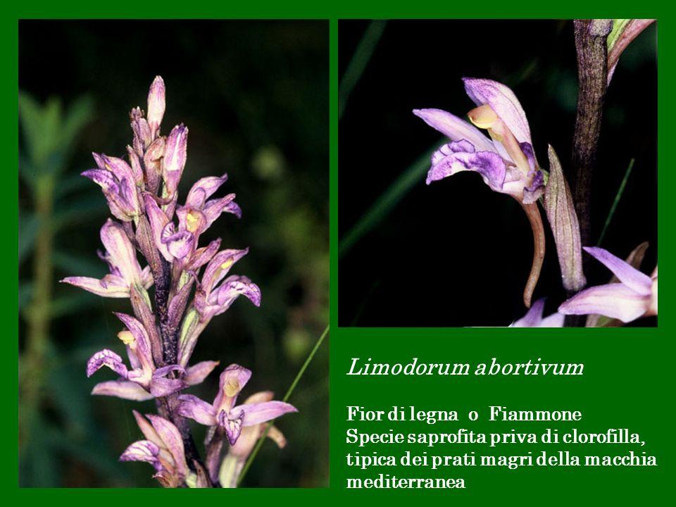 Limodorum abortivum Fior di legna o Fiammone Specie saprofita priva di clorofilla, tipica dei prati magri della macchia mediterranea