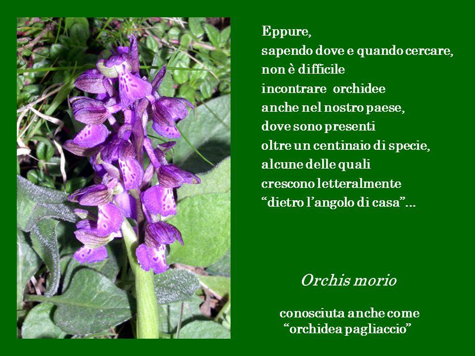 Eppure, sapendo dove e quando cercare, non è difficile incontrare orchidee anche nel nostro paese, dove sono presenti oltre un centinaio di specie, al