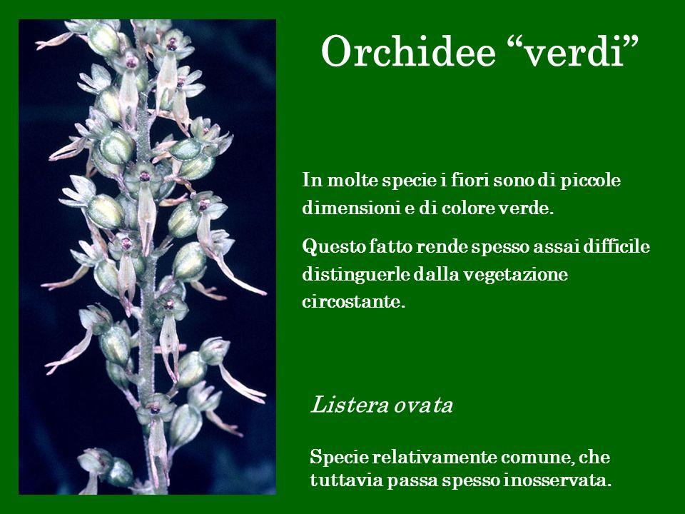 Orchidee verdi Listera ovata Specie relativamente comune, che tuttavia passa spesso inosservata. In molte specie i fiori sono di piccole dimensioni e