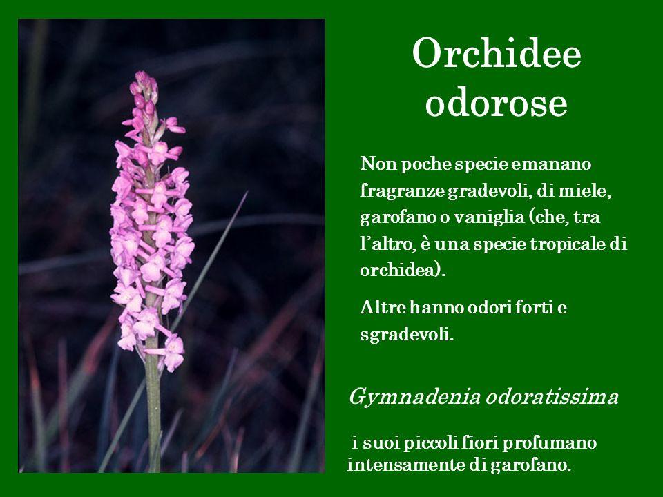 Orchidee odorose Gymnadenia odoratissima i suoi piccoli fiori profumano intensamente di garofano. Non poche specie emanano fragranze gradevoli, di mie