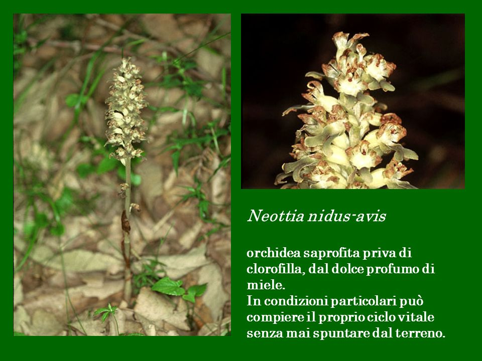 Neottia nidus-avis orchidea saprofita priva di clorofilla, dal dolce profumo di miele. In condizioni particolari può compiere il proprio ciclo vitale