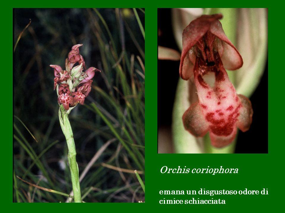 Orchis coriophora emana un disgustoso odore di cimice schiacciata
