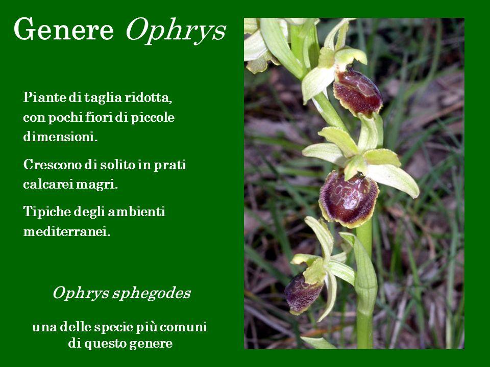 Genere Ophrys Ophrys sphegodes una delle specie più comuni di questo genere Piante di taglia ridotta, con pochi fiori di piccole dimensioni. Crescono