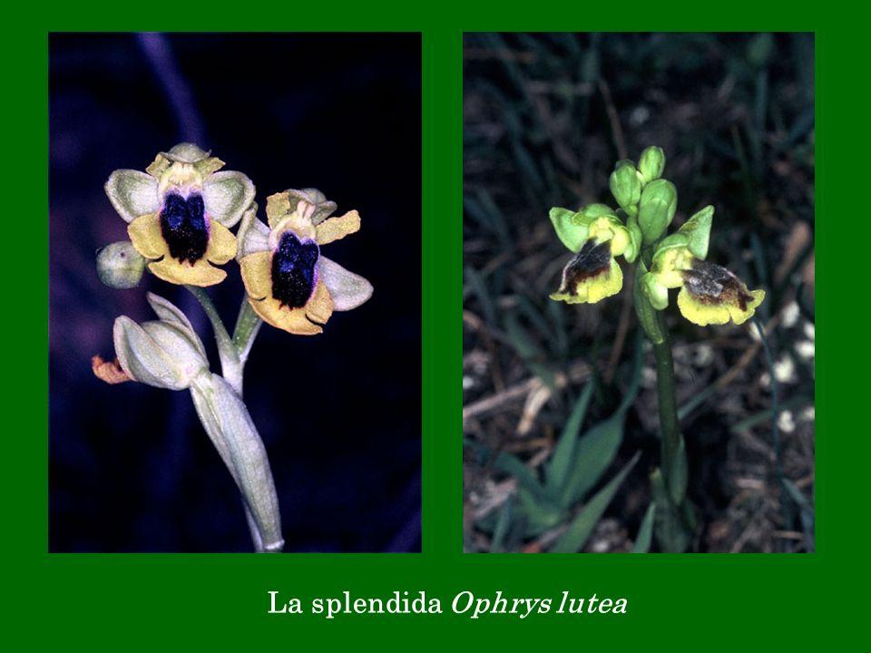 La splendida Ophrys lutea
