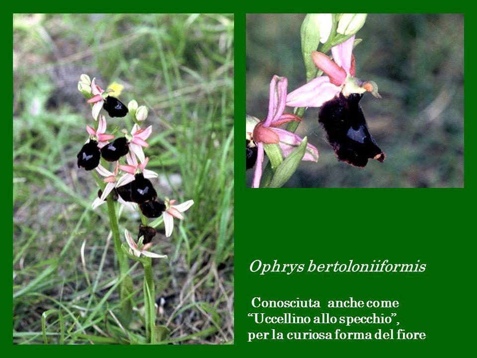 Ophrys bertoloniiformis Conosciuta anche come Uccellino allo specchio, per la curiosa forma del fiore