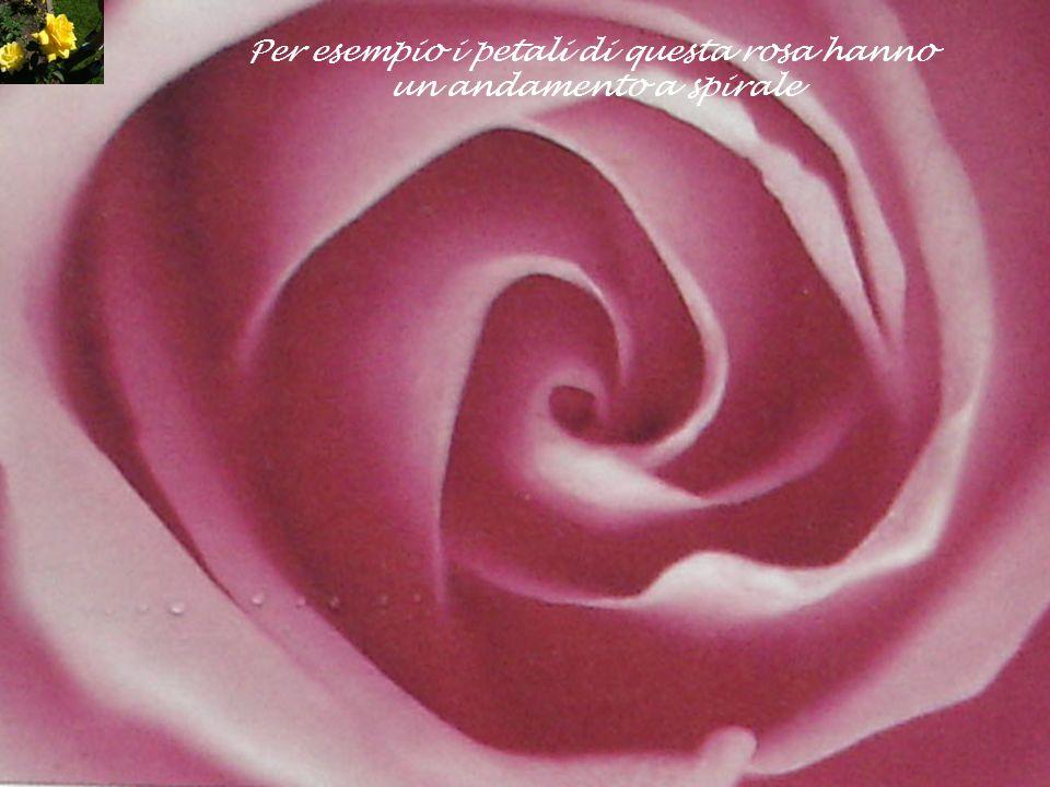 Per esempio i petali di questa rosa hanno un andamento a spirale