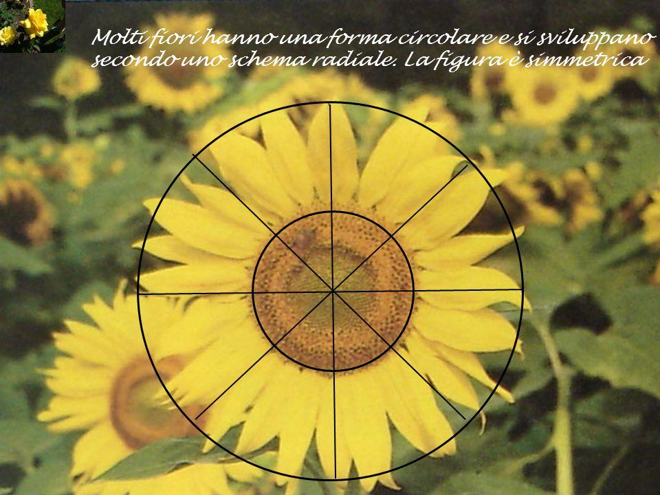 Molti fiori hanno una forma circolare e si sviluppano secondo uno schema radiale. La figura è simmetrica