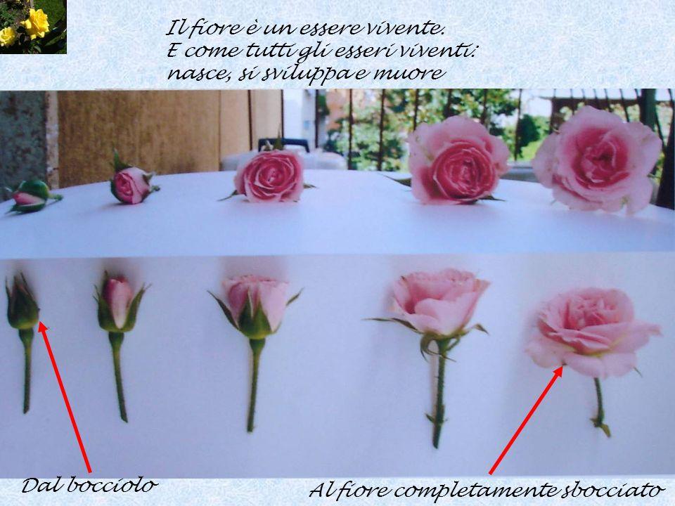 Il fiore è un essere vivente. E come tutti gli esseri viventi: nasce, si sviluppa e muore Dal bocciolo Al fiore completamente sbocciato