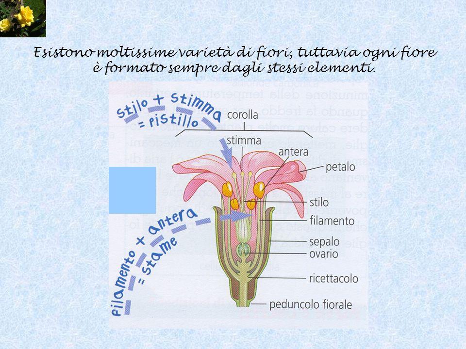 Esistono moltissime varietà di fiori, tuttavia ogni fiore è formato sempre dagli stessi elementi.