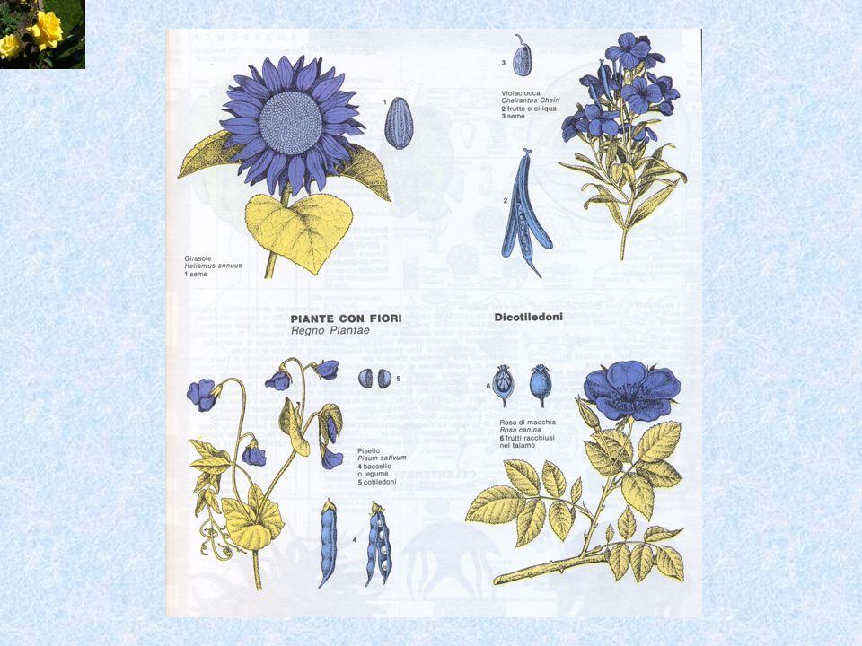 Nella sua crescita ogni fiore si sviluppa secondo un andamento e uno schema geometrico