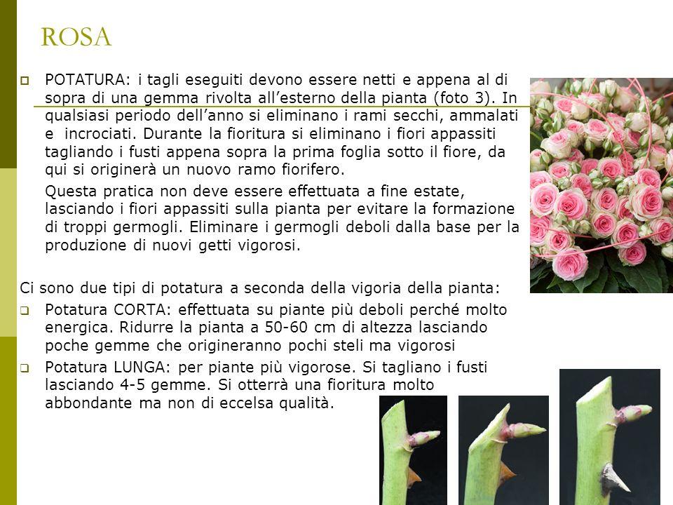 ROSA POTATURA: i tagli eseguiti devono essere netti e appena al di sopra di una gemma rivolta allesterno della pianta (foto 3). In qualsiasi periodo d