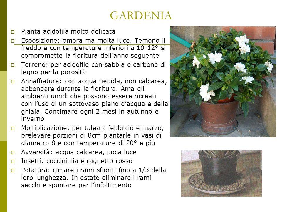 GARDENIA Pianta acidofila molto delicata Esposizione: ombra ma molta luce. Temono il freddo e con temperature inferiori a 10-12° si compromette la fio