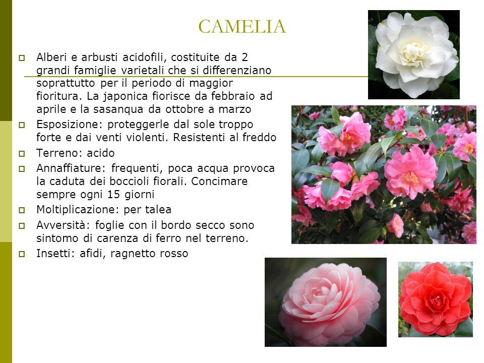 CAMELIA Alberi e arbusti acidofili, costituite da 2 grandi famiglie varietali che si differenziano soprattutto per il periodo di maggior fioritura. La