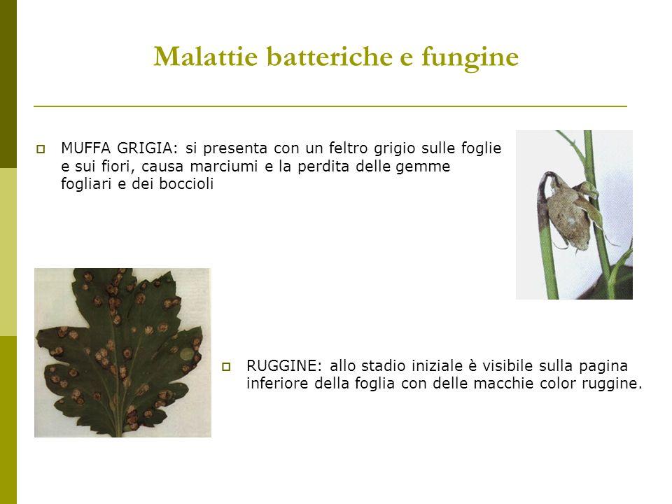 Malattie batteriche e fungine MUFFA GRIGIA: si presenta con un feltro grigio sulle foglie e sui fiori, causa marciumi e la perdita delle gemme fogliar