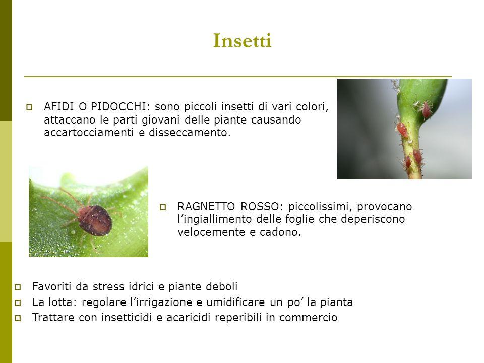 Insetti COCCINIGLIA: causano danni alle foglie facendole ingiallire e producendo melata che attira altri insetti e formando la fumaggine.
