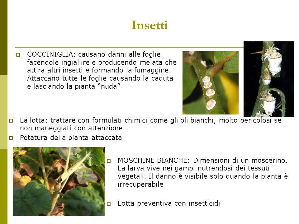Insetti COCCINIGLIA: causano danni alle foglie facendole ingiallire e producendo melata che attira altri insetti e formando la fumaggine. Attaccano tu