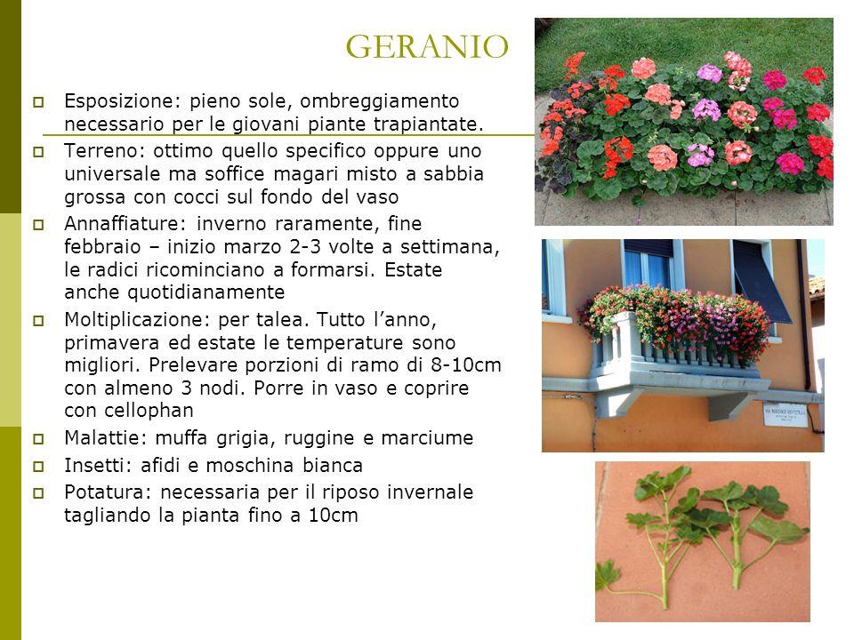 GERANIO Esposizione: pieno sole, ombreggiamento necessario per le giovani piante trapiantate. Terreno: ottimo quello specifico oppure uno universale m