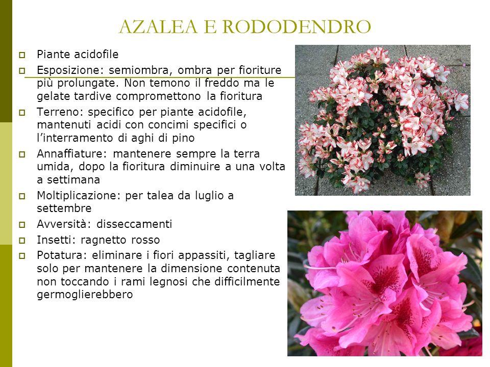 AZALEA E RODODENDRO Piante acidofile Esposizione: semiombra, ombra per fioriture più prolungate. Non temono il freddo ma le gelate tardive comprometto