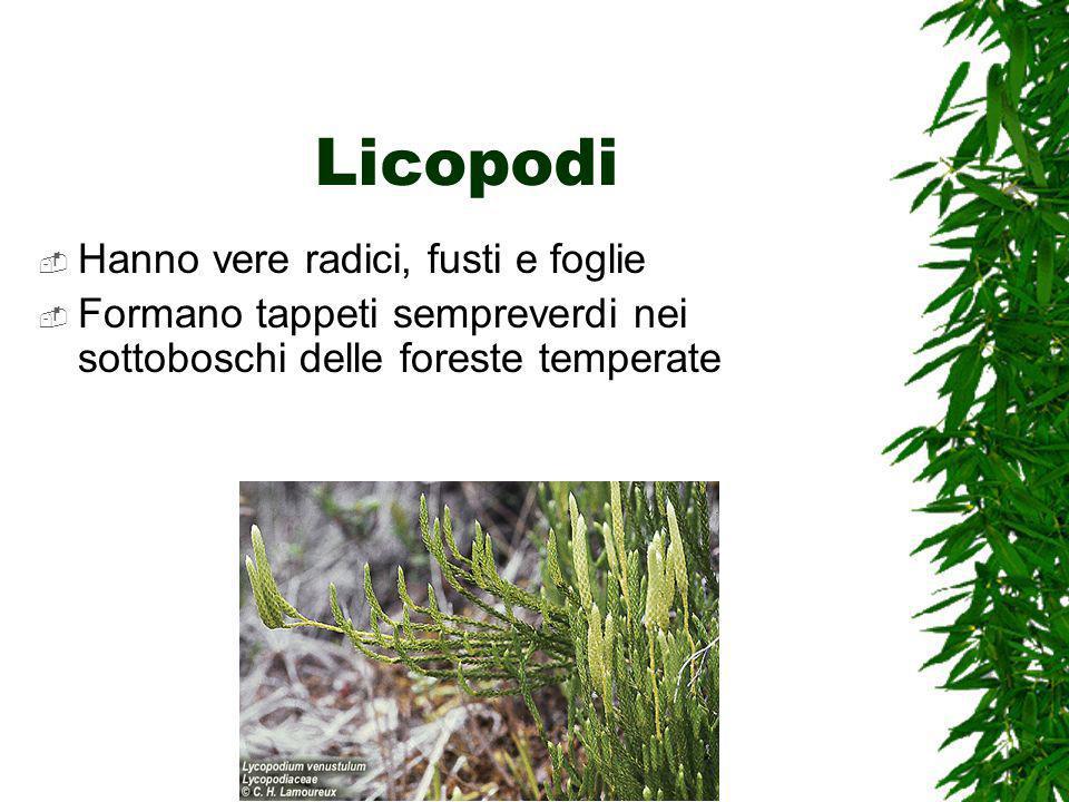Licopodi Hanno vere radici, fusti e foglie Formano tappeti sempreverdi nei sottoboschi delle foreste temperate