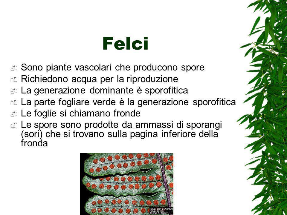 Felci Sono piante vascolari che producono spore Richiedono acqua per la riproduzione La generazione dominante è sporofitica La parte fogliare verde è la generazione sporofitica Le foglie si chiamano fronde Le spore sono prodotte da ammassi di sporangi (sori) che si trovano sulla pagina inferiore della fronda