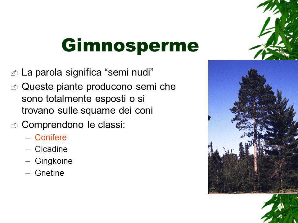 Gimnosperme La parola significa semi nudi Queste piante producono semi che sono totalmente esposti o si trovano sulle squame dei coni Comprendono le classi: –Conifere –Cicadine –Gingkoine –Gnetine