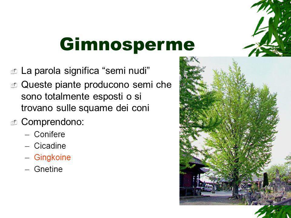 Gimnosperme La parola significa semi nudi Queste piante producono semi che sono totalmente esposti o si trovano sulle squame dei coni Comprendono: –Conifere –Cicadine –Gingkoine –Gnetine
