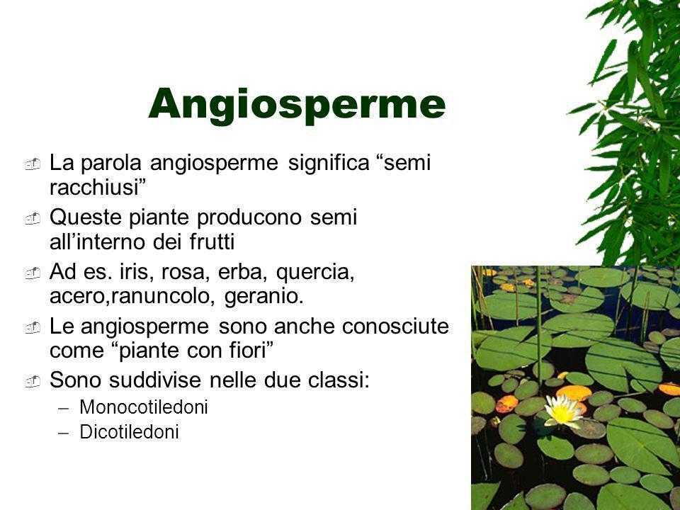 Angiosperme La parola angiosperme significa semi racchiusi Queste piante producono semi allinterno dei frutti Ad es. iris, rosa, erba, quercia, acero,