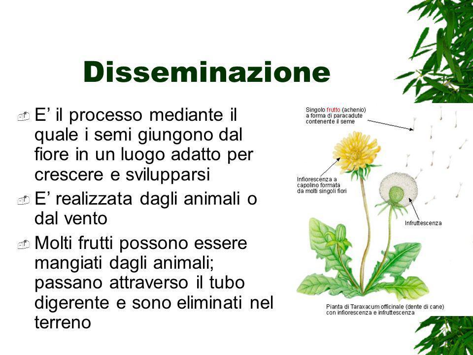 Disseminazione E il processo mediante il quale i semi giungono dal fiore in un luogo adatto per crescere e svilupparsi E realizzata dagli animali o dal vento Molti frutti possono essere mangiati dagli animali; passano attraverso il tubo digerente e sono eliminati nel terreno