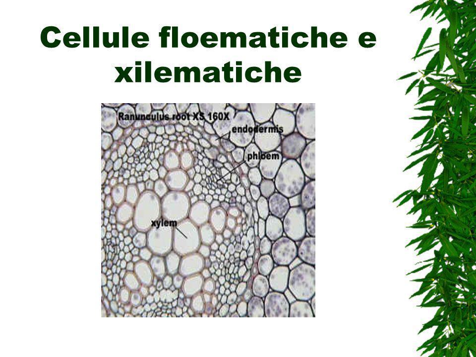 Cellule floematiche e xilematiche