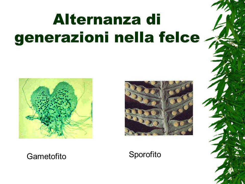 Alternanza di generazioni nella felce Gametofito Sporofito