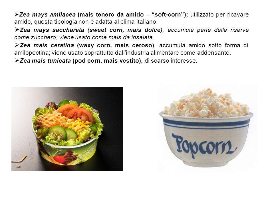 Zea mays amilacea (mais tenero da amido – soft-corn); utilizzato per ricavare amido, questa tipologia non è adatta al clima italiano. Zea mays sacchar