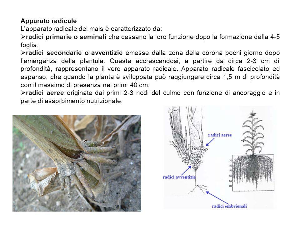 Apparato radicale Lapparato radicale del mais è caratterizzato da: radici primarie o seminali che cessano la loro funzione dopo la formazione della 4-