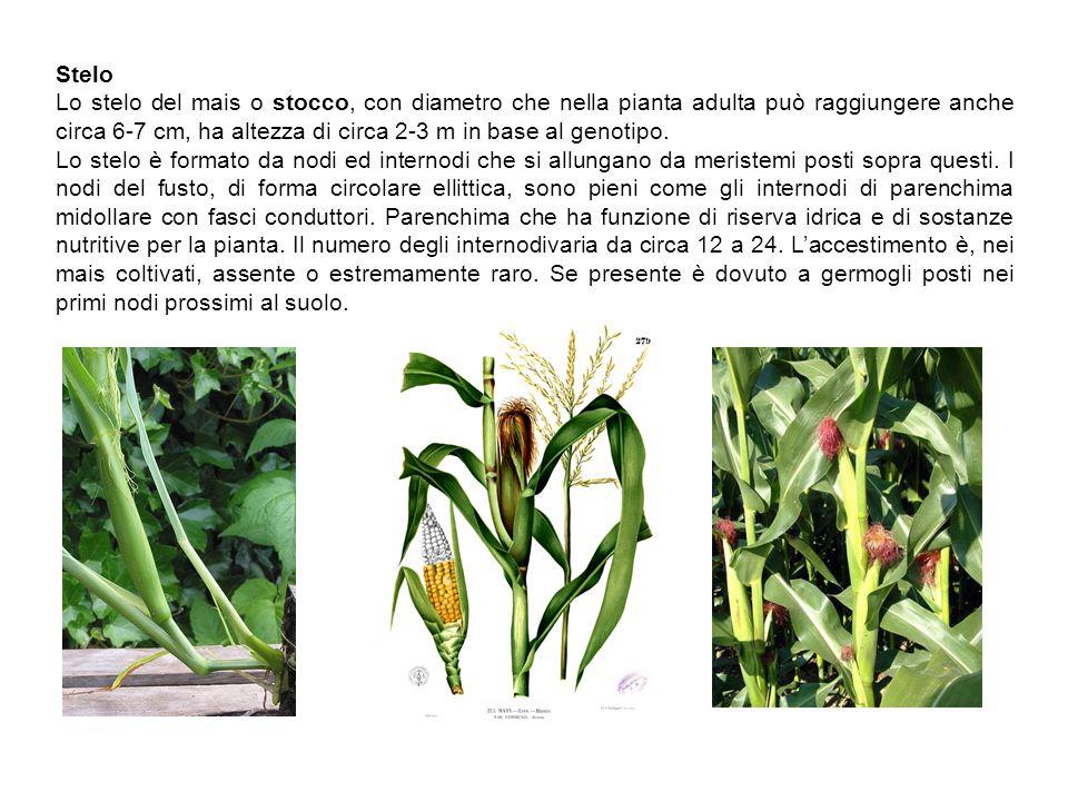 Stelo Lo stelo del mais o stocco, con diametro che nella pianta adulta può raggiungere anche circa 6-7 cm, ha altezza di circa 2-3 m in base al genoti