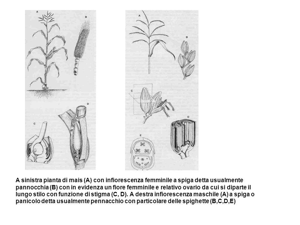 A sinistra pianta di mais (A) con infiorescenza femminile a spiga detta usualmente pannocchia (B) con in evidenza un fiore femminile e relativo ovario