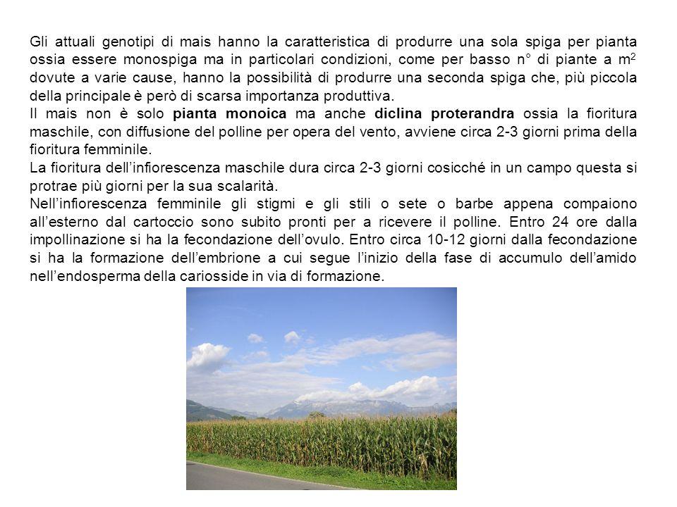 Gli attuali genotipi di mais hanno la caratteristica di produrre una sola spiga per pianta ossia essere monospiga ma in particolari condizioni, come p
