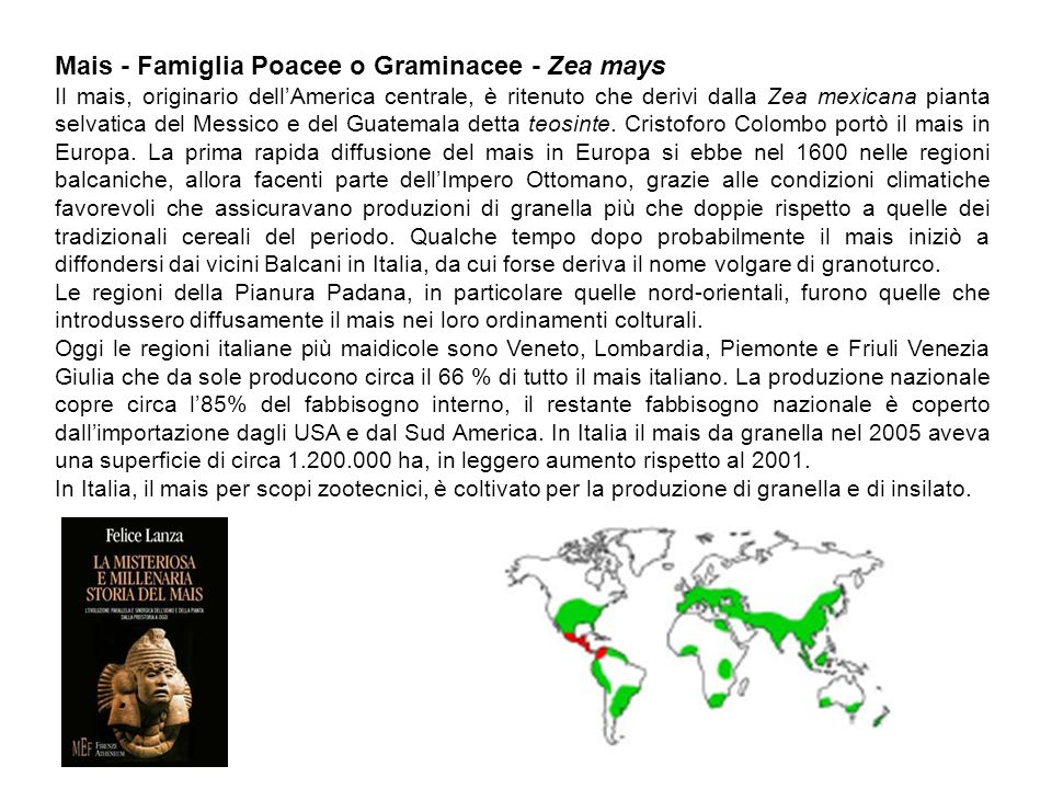 Mais - Famiglia Poacee o Graminacee - Zea mays Il mais, originario dellAmerica centrale, è ritenuto che derivi dalla Zea mexicana pianta selvatica del