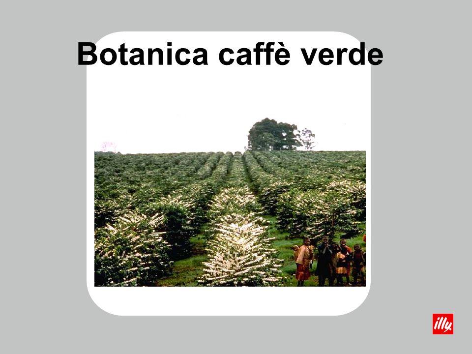 Botanica caffè verde