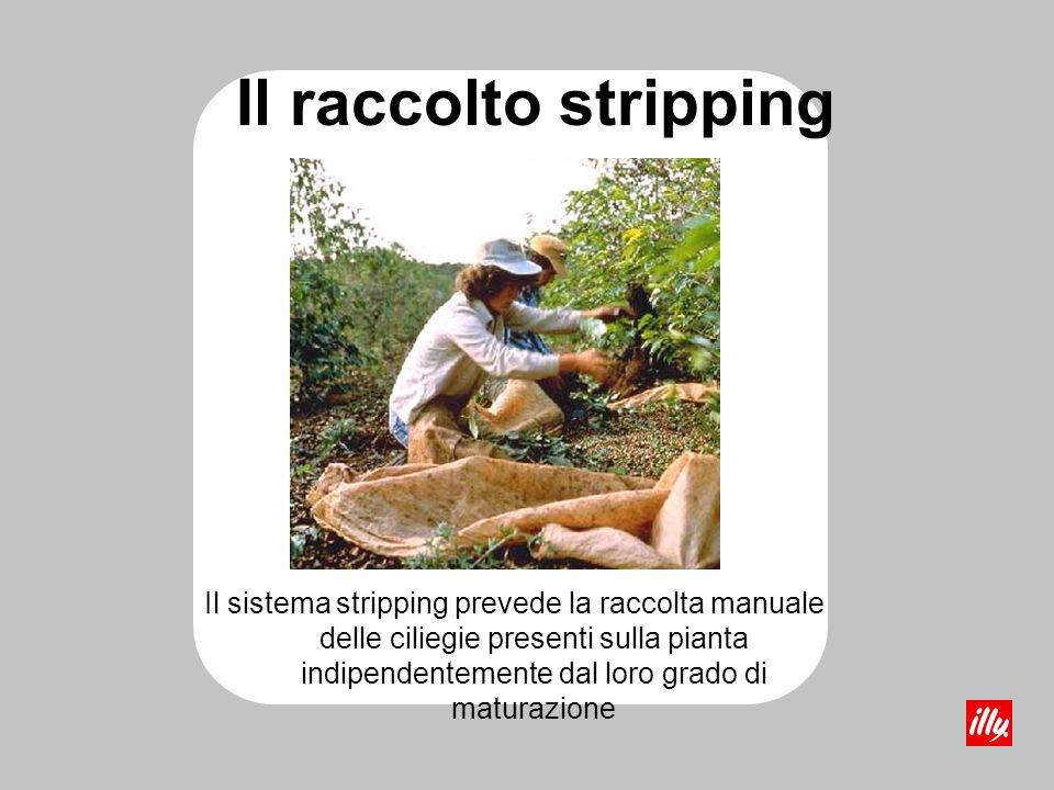 Il raccolto stripping Il sistema stripping prevede la raccolta manuale delle ciliegie presenti sulla pianta indipendentemente dal loro grado di matura