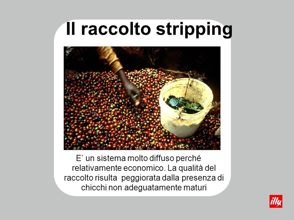 Il raccolto stripping E un sistema molto diffuso perché relativamente economico. La qualità del raccolto risulta peggiorata dalla presenza di chicchi