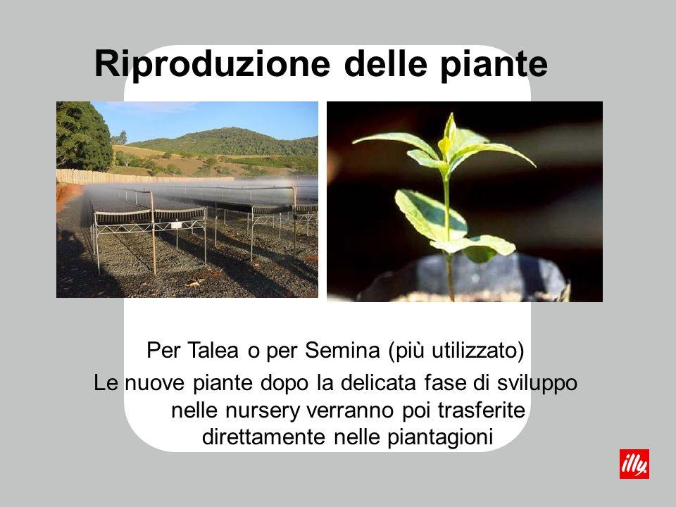 Riproduzione delle piante Per Talea o per Semina (più utilizzato) Le nuove piante dopo la delicata fase di sviluppo nelle nursery verranno poi trasfer