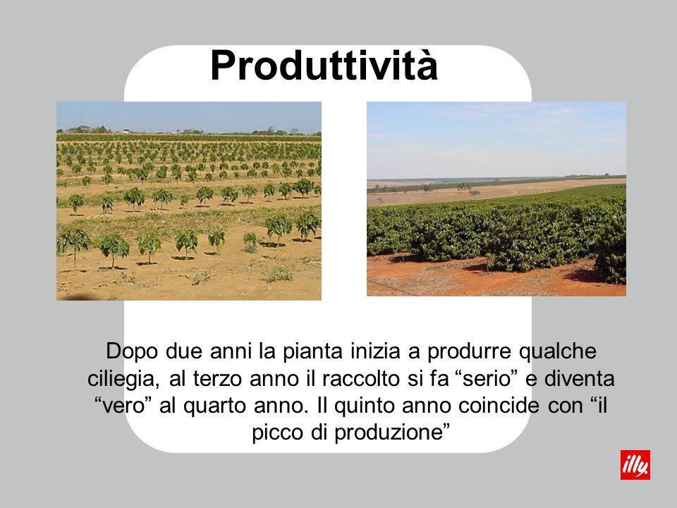Produttività Dopo due anni la pianta inizia a produrre qualche ciliegia, al terzo anno il raccolto si fa serio e diventa vero al quarto anno. Il quint