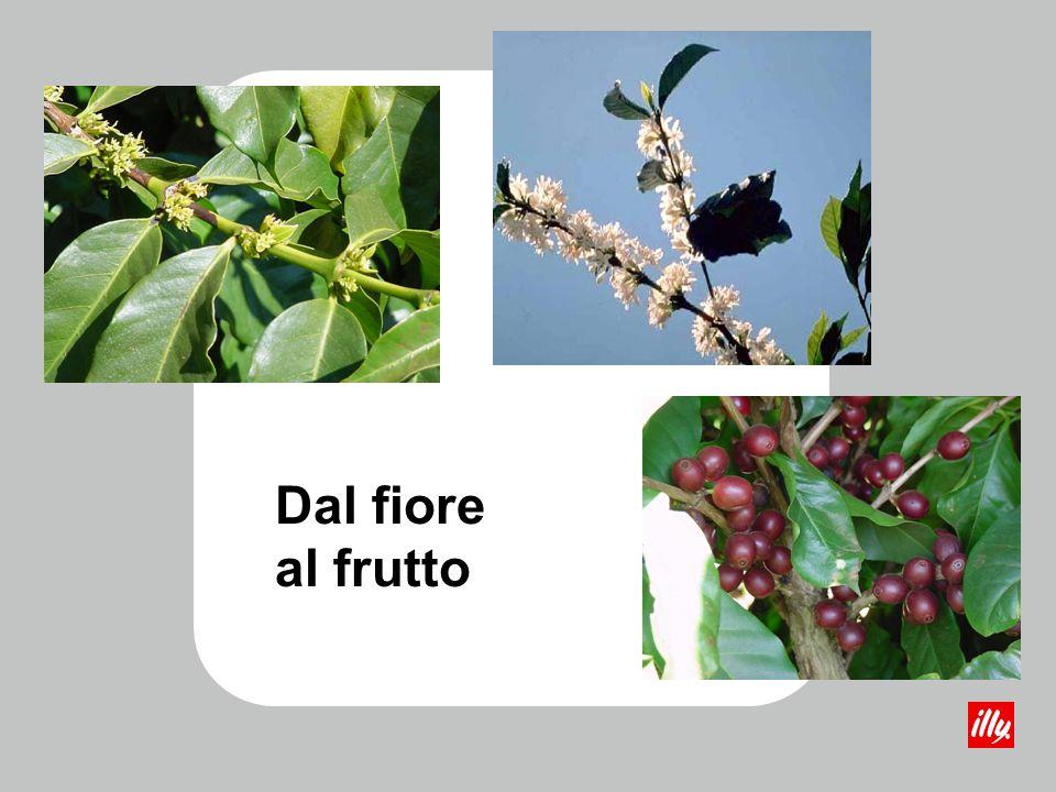 La pianta può raggiungere spontaneamente 4-5 m di altezza; nelle piantagioni viene mantenuta a 2-3 m per facilitare il raccolto.