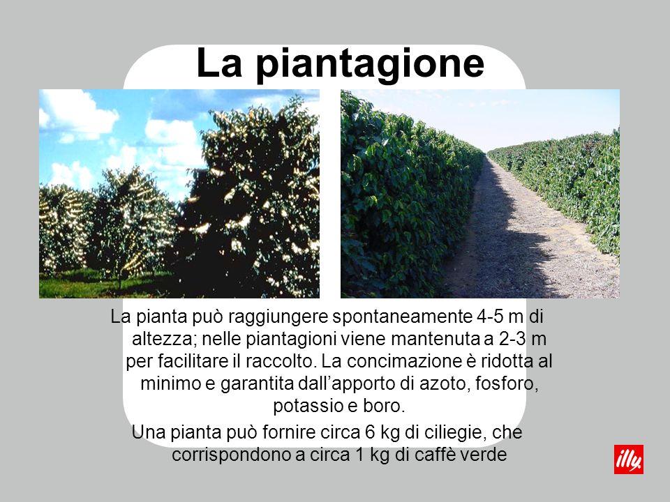 La pianta può raggiungere spontaneamente 4-5 m di altezza; nelle piantagioni viene mantenuta a 2-3 m per facilitare il raccolto. La concimazione è rid