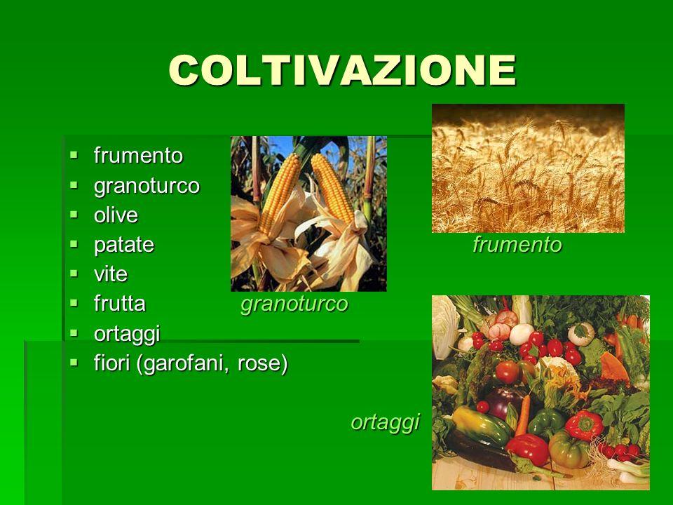 COLTIVAZIONE frumento frumento granoturco granoturco olive olive patatefrumento patatefrumento vite vite frutta granoturco frutta granoturco ortaggi o