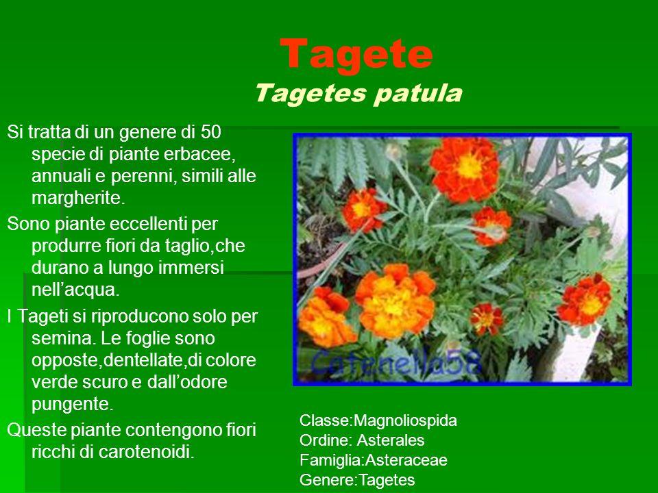 Tagete Tagetes patula Si tratta di un genere di 50 specie di piante erbacee, annuali e perenni, simili alle margherite. Sono piante eccellenti per pro