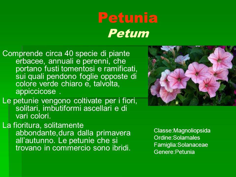 Petunia Petum Comprende circa 40 specie di piante erbacee, annuali e perenni, che portano fusti tomentosi e ramificati, sui quali pendono foglie oppos