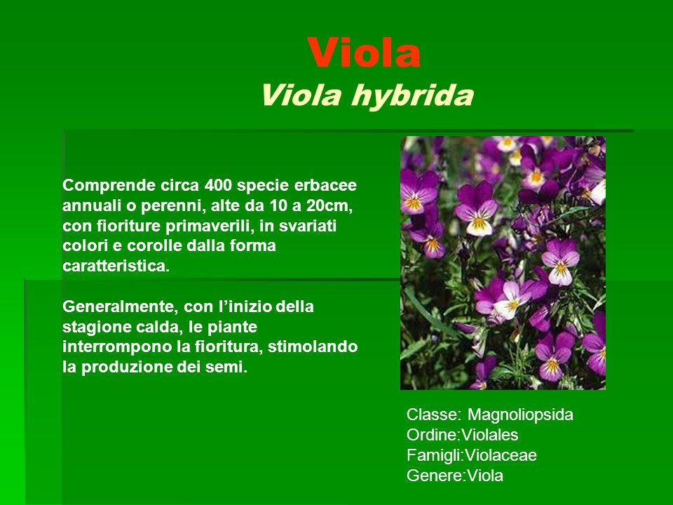 Viola Viola hybrida Comprende circa 400 specie erbacee annuali o perenni, alte da 10 a 20cm, con fioriture primaverili, in svariati colori e corolle d