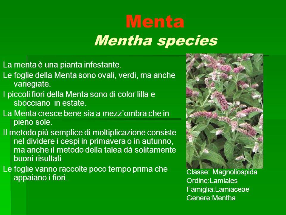 Menta Mentha species La menta è una pianta infestante. Le foglie della Menta sono ovali, verdi, ma anche variegiate. I piccoli fiori della Menta sono