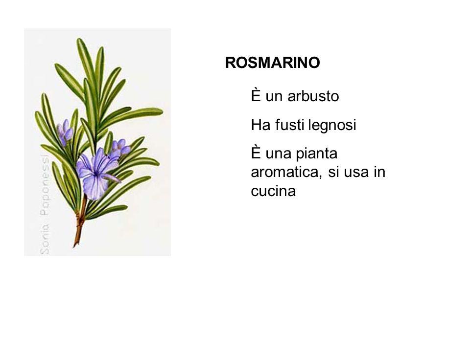 ROSMARINO È un arbusto Ha fusti legnosi È una pianta aromatica, si usa in cucina