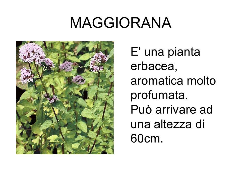 MAGGIORANA, E una pianta erbacea, aromatica molto profumata. Può arrivare ad una altezza di 60cm.